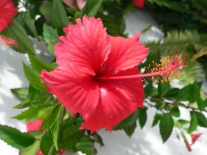 HIBISCUS, Rosa sinensis antioxydante fleur comestible.