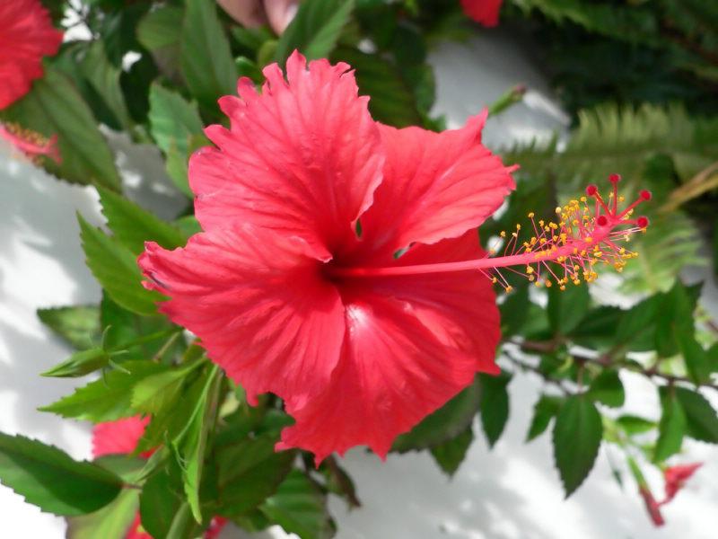 description fleur d hibiscus fleur hibiscus bio fleur hibiscus bio bissap. Black Bedroom Furniture Sets. Home Design Ideas