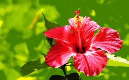hibiscus fleur antioxydant naturel biologique